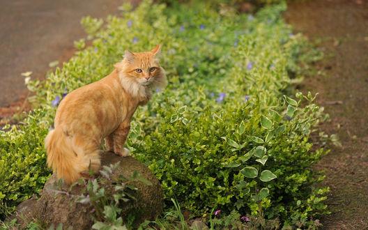 Обои Рыжий кот, сидящий на камне возле куста с фиолетовыми цветами