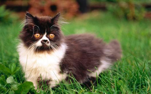 Обои Экзотическая кошка, стоящая в зеленой траве на размытом фоне