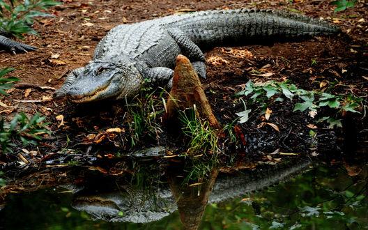 Обои Крокодил, ползущий к водоему среди осенних листьев