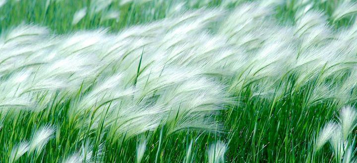 Обои Колосистая трава с пушистыми кончиками