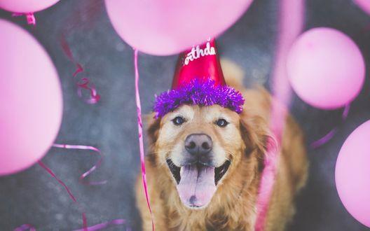 Обои Золотистый ретривер в праздничном колпаке, смотрит на воздушные розовые шары