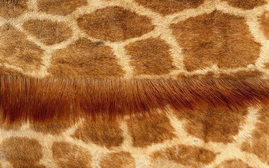 Обои Спина жирафа крупным планом