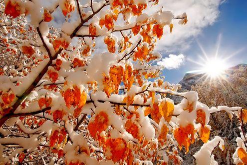 Обои Ветка дерева с желтыми листьями, покрытыми снегом, в лучах солнца на фоне облачного неба
