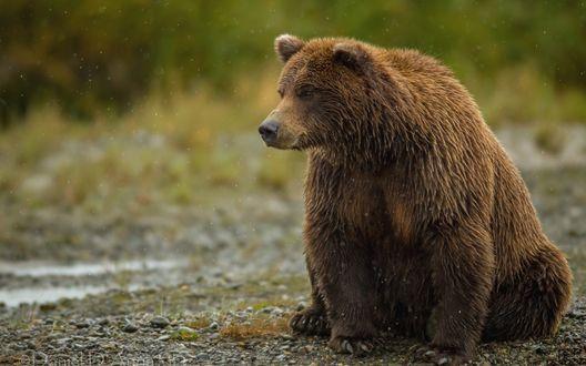 Обои Бурый медведь сидит под дождем, фотограф Daniel D. Auna MD