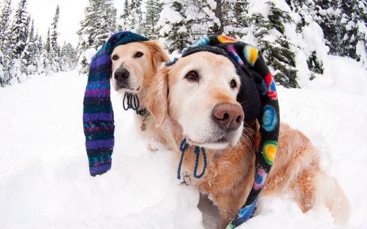 Обои Два золотистых ретривера в необычных шапочках на опушке снежного леса
