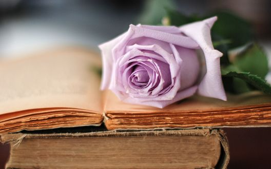 Обои Нежно - фиолетовая роза лежит на открытой книге