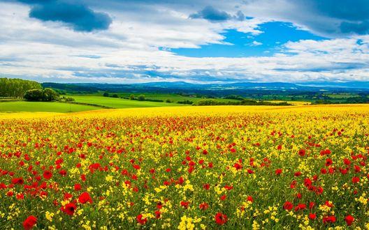 Обои Поле желтых нарциссов и красных маков на фоне гор и белых облаков в небе
