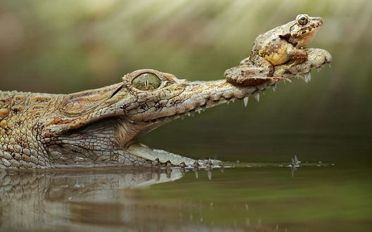 Обои Лягушка сидит на носу у крокодила