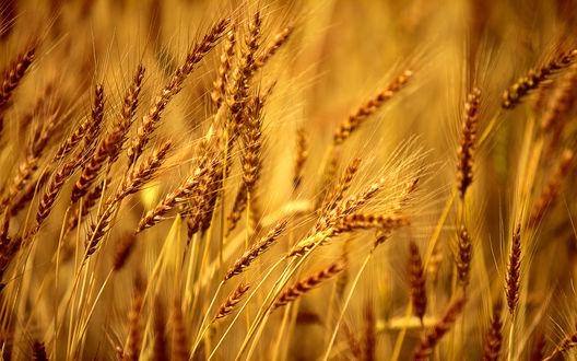 Обои Золотые колоски пшеницы крупным планом