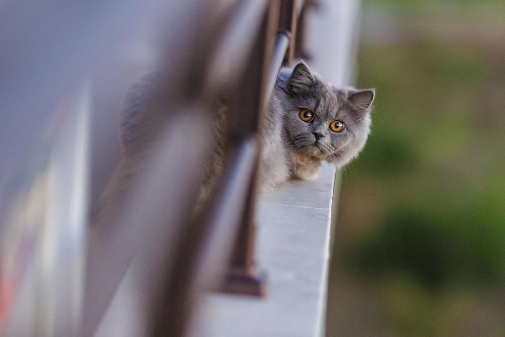 Обои Кошка породы британская длинношерстная с удивленным взглядом ...