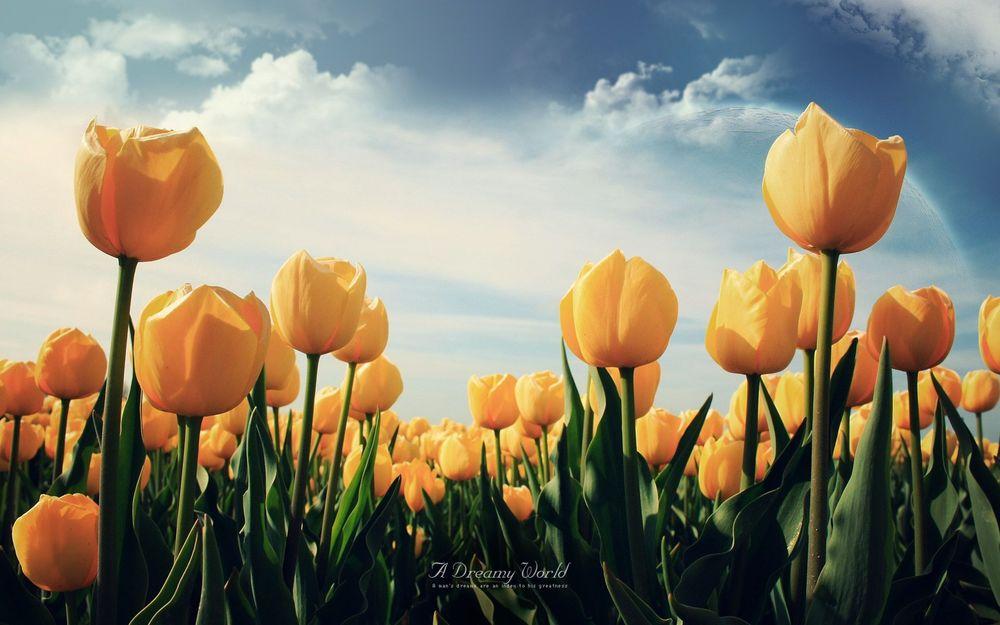 Обои для рабочего стола Желтые тюльпаны на фоне голубого неба и планеты (A Dreamy World. A mans dreams are an index to his greatness / Мечтательный мир. Мечты мужчины индекс его величия)