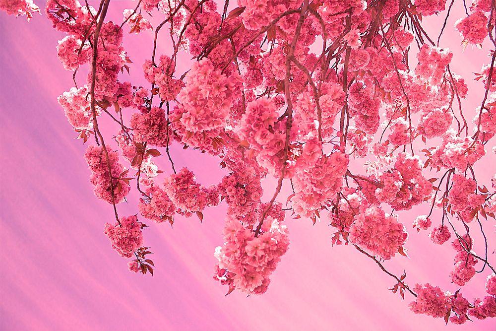 Красивые картинки ветки сакуры