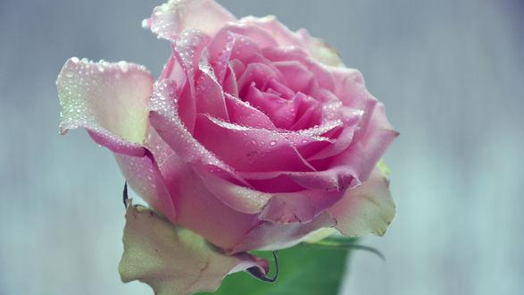 Обои Цветок розовой розы в каплях воды