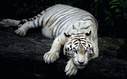 Обои Белый тигр с голубыми глазами лежит на земле