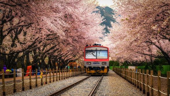 Обои Трамвай проезжает вдоль цветущих весенних деревьев, Aaron Choi