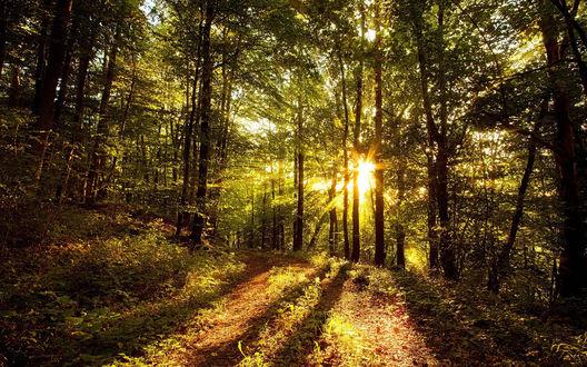 Обои Солнце пробивается через густой лес