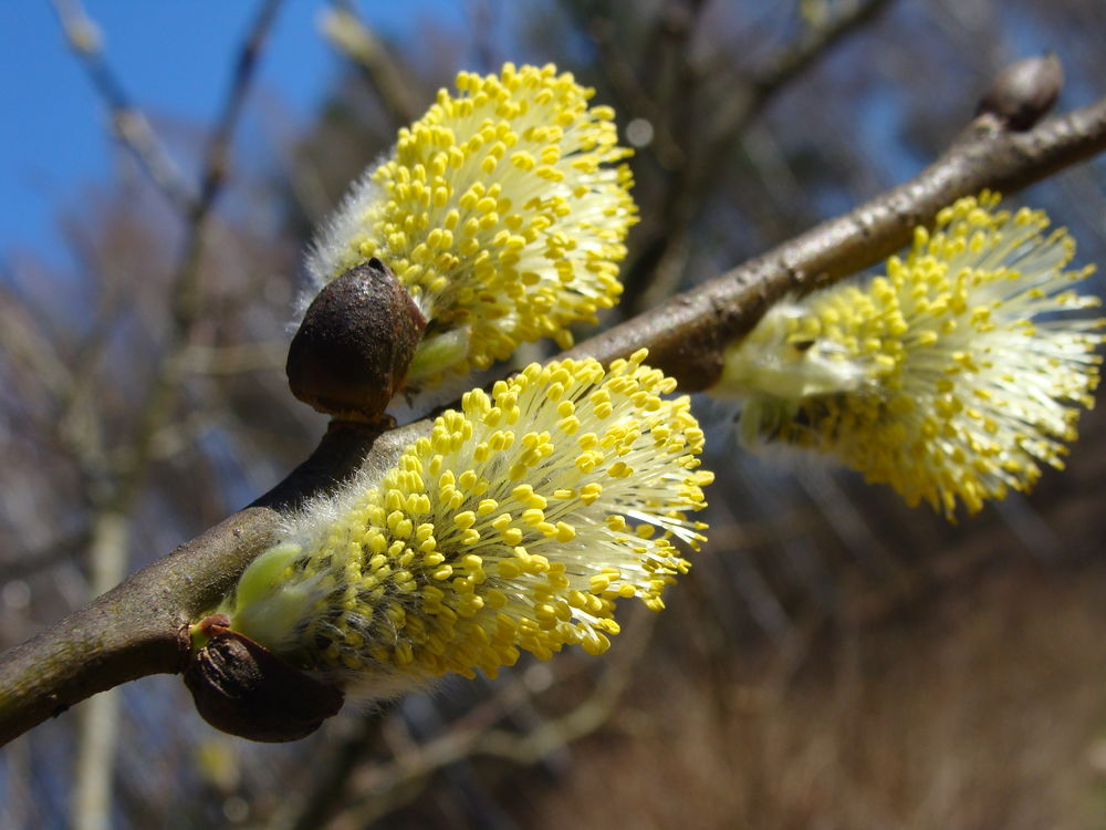 весна верба цветет приятным