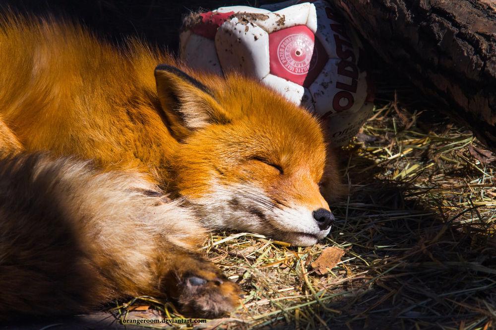 лисенок спать ложится картинка