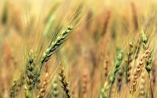 Обои Колоски пшеницы крупным планом