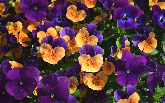 Обои Оранжевые и фиолетовые анютины глазки