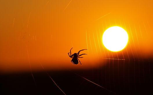 Обои Паук сидит на паутине на фоне солнца в оранжевом небе