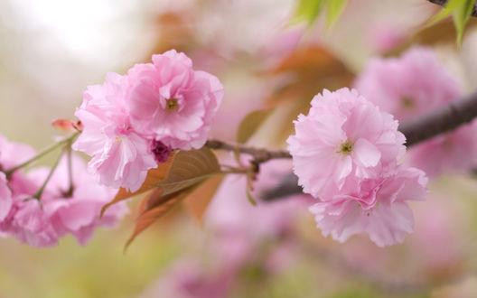 Обои Веточка светло-розовых цветов