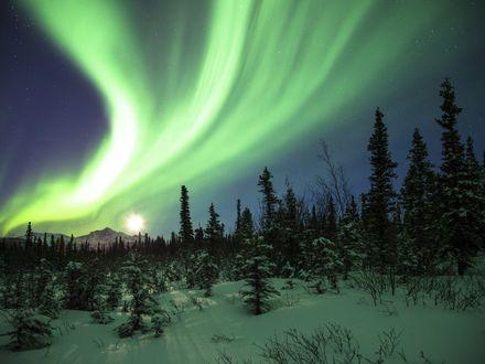 Обои Северное сияние над елями в зимнем лесу