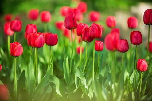 Обои Красные тюльпаны, фотограф Sergey Shatskov