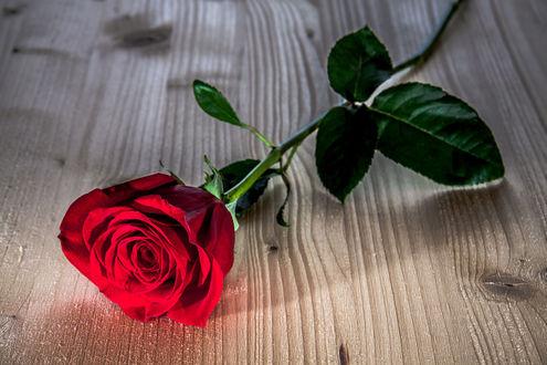 Обои Красная роза лежит на деревянной поверхности