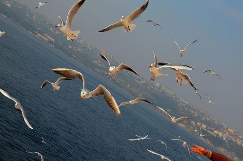 Обои Чайки над морем, by kiluncle