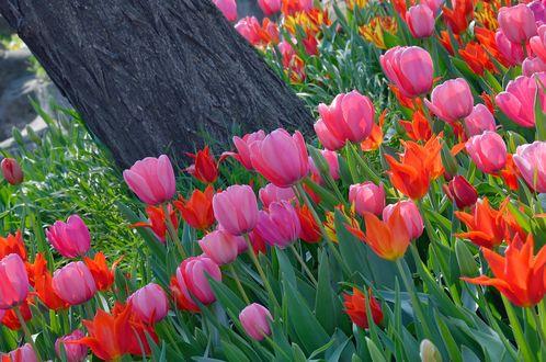 Обои Красные и розовые тюльпаны вокруг дерева, by KILUncle