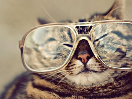 Обои Кошка в очках