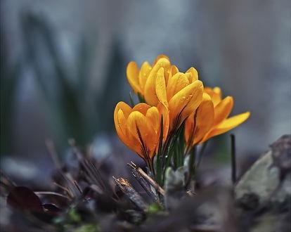 Обои Желтые весенние крокусы в капельках утренней росы, растущие среди пожухлых, старых листьев