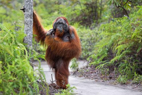 Обои Орангутанг, держась лапой за дерево стоит на дорожке в окружении кустов и деревьев