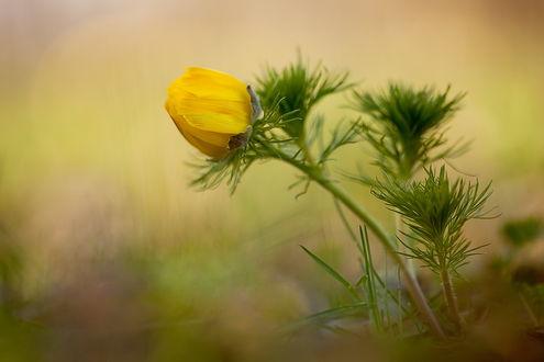 Обои Бутон желтого, нераспустившегося цветка на размытом фоне
