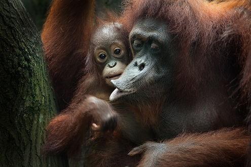 Обои Обезьяна со своим детенышем возле дерева, автор Лола Пидлуская