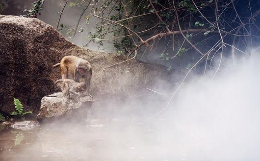 Обои Обезьяна со своим детенышем, сидящие на каменном валуне возле водоема с туманным испарением от поверхности воды, автор Лола Пидлуская