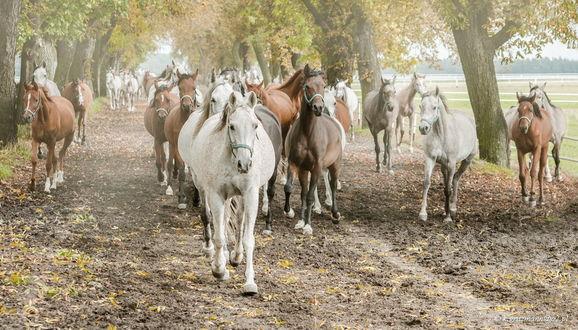 Обои Табун лошадей, идущий по грунтовой дороге среди деревьев с опадающими, осенними листьями