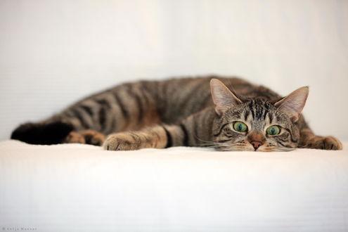 Обои Полосатый кот с зелеными глазами