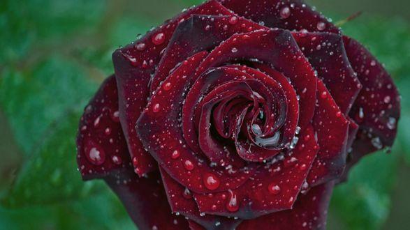 Обои Темно-бордовая роза в каплях воды