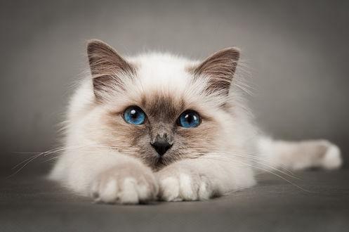 Обои Котенок с голубыми глазами на светло-коричневом фоне