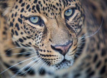 Обои Красивый леопард вблизи
