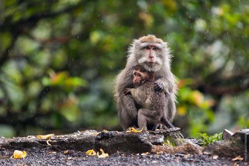 Обои Обезьяна, сидящая на камне, нежно прижимает к себе детеныша, пытаясь защитить его от идущего дождя, автор Михаил Шмелев