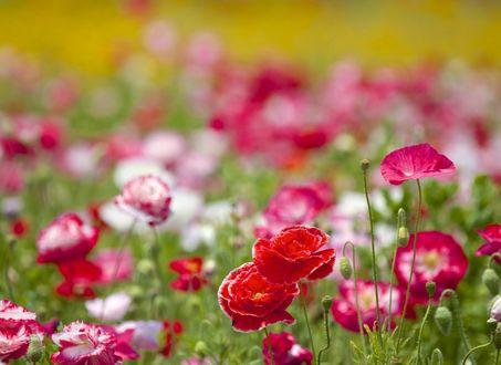 Обои Поле красных и розовых маков