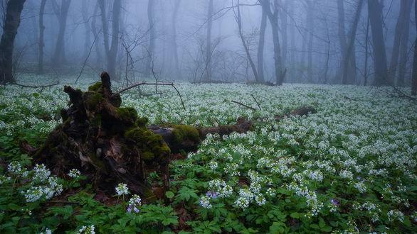 Обои Опушка леса, покрытого синим туманом, усыпанная весенними, белыми цветами, с находящимся на ней поваленным стволом засохшего дерева, покрытого зеленым мхом