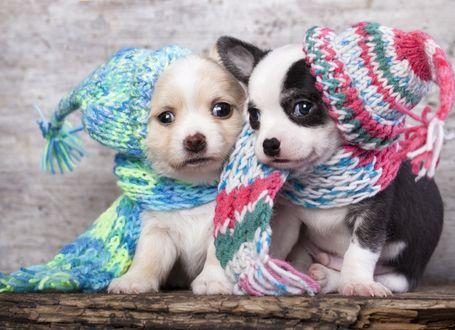 Обои Два забавных щенка в шерстяных шапках и шарфах
