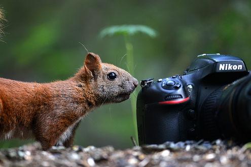 Обои Любопытная белка осторожно принюхивается к фотоаппарату Nikon, лежащему на земле
