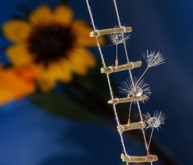 Обои Веревочная лестница с деревянными перекладинами на которых стоят пушинки одуванчика с капельками воды на размытом фоне цветущего подсолнуха, автор Марина Брыдня