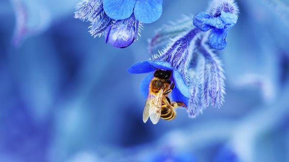 Обои Пчела на синем цветке