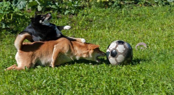 Обои Черная и рыжая собаки, борющиеся за футбольный мяч на зеленой лужайке